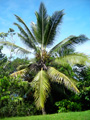A coconut palm on the project.